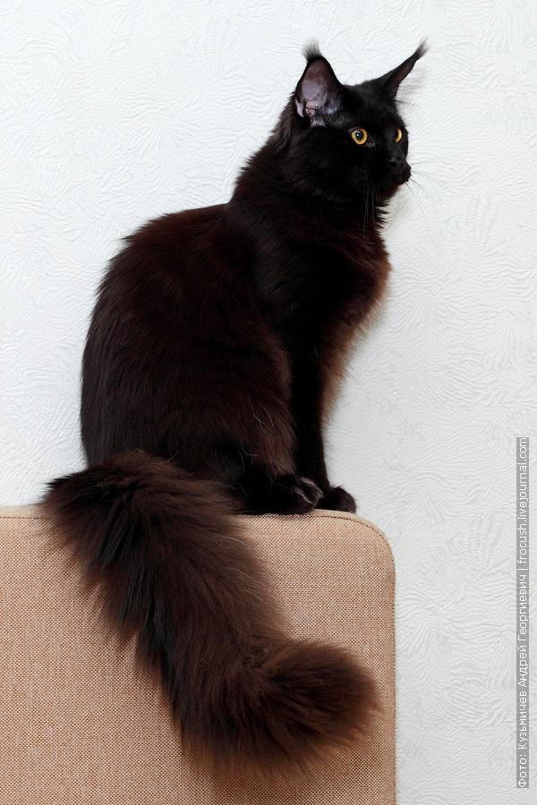кот Мейн-кун производитель