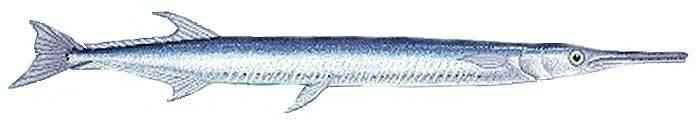 Сарган или морская щука