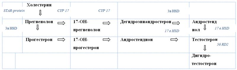 Схема биосинтеза андрогенов