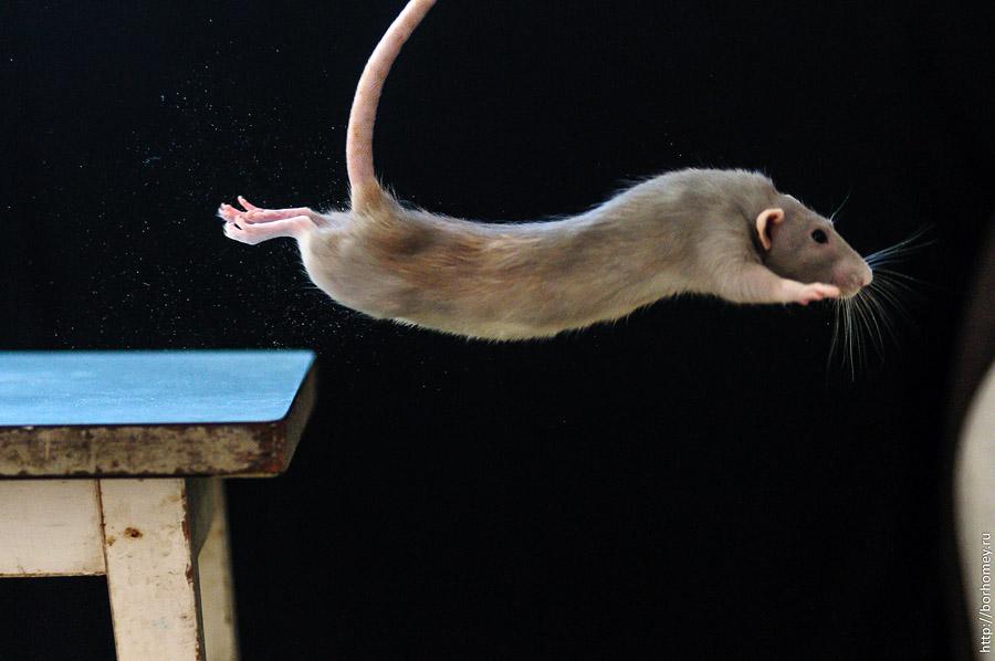 крыса в полете