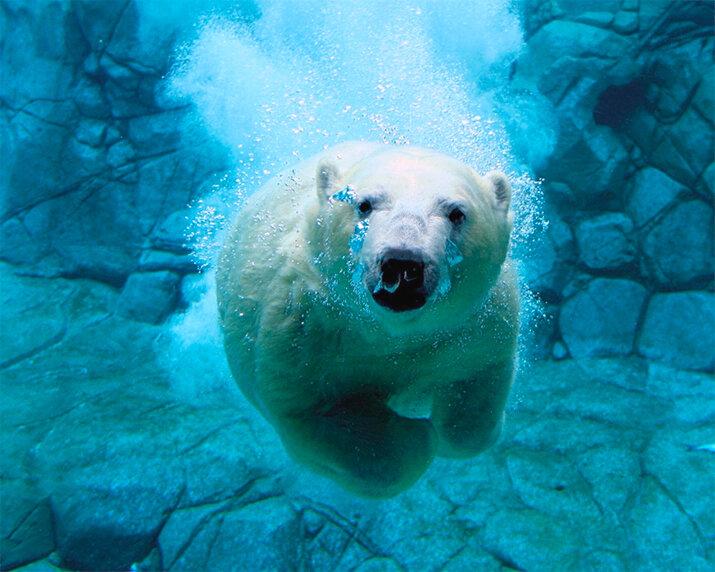 Белый медведь - животные из дикой природы, интересные кадры