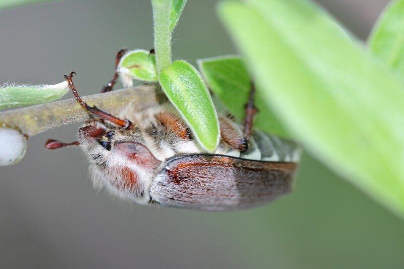 Майский жук (лат. Melolontha hippocastani, Хрущ майский восточный) на веточке ивы