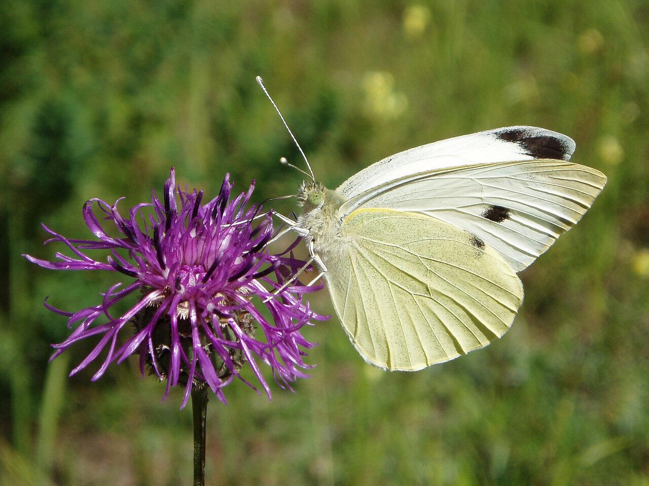 Капустница (Pieris brassicae). Автор фото: Владимир Брюхов
