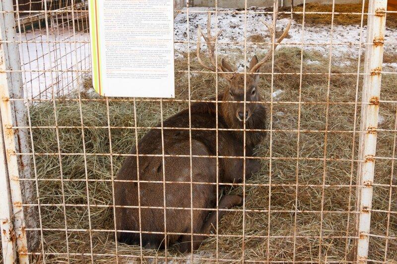 Пятнистый олень в зверинце Николо-Пешношского монастыря