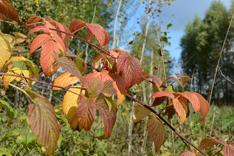 красные листья малины 2