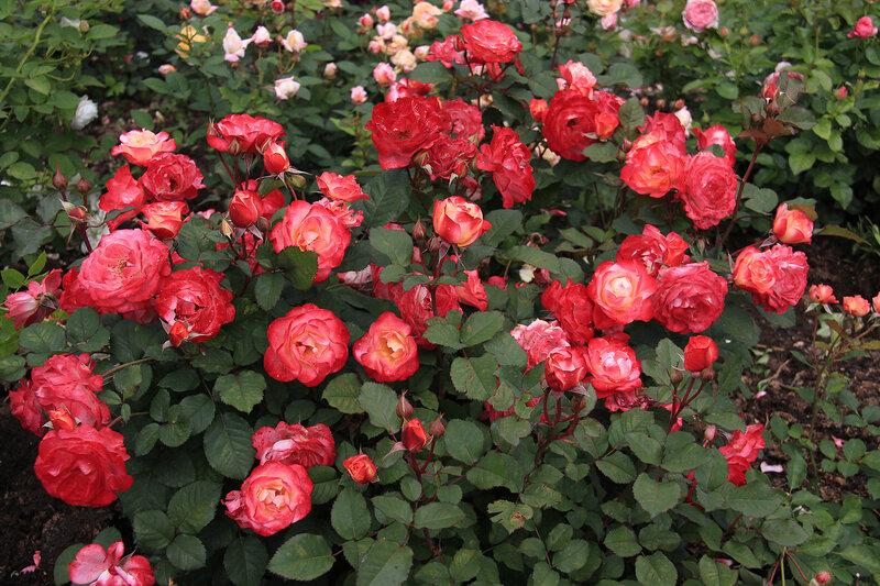 ���� ������� �� ���� (Marseille en Fleurs) ������������� Massad 2009 �������� Petales de Roses ������� ���� 2014 ����