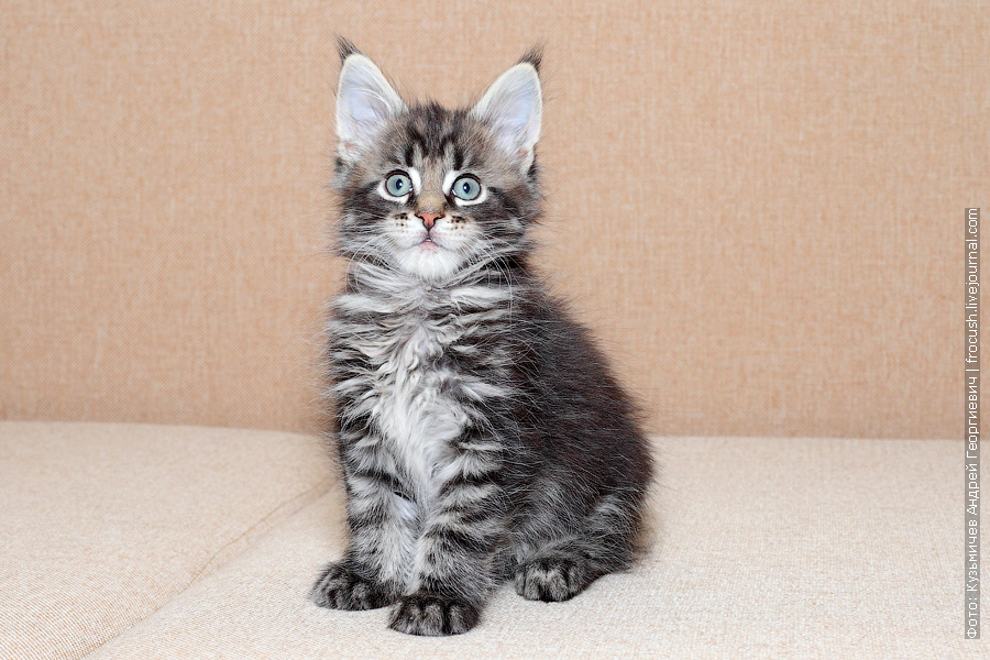 продам котенок Мейн-кун