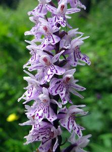 Пальчатокоренник пятнистый (Dactylorhiza maculata)