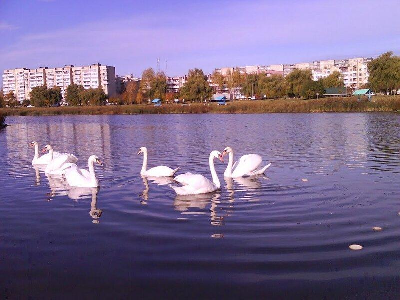 лебеди на Светиловском озере 1