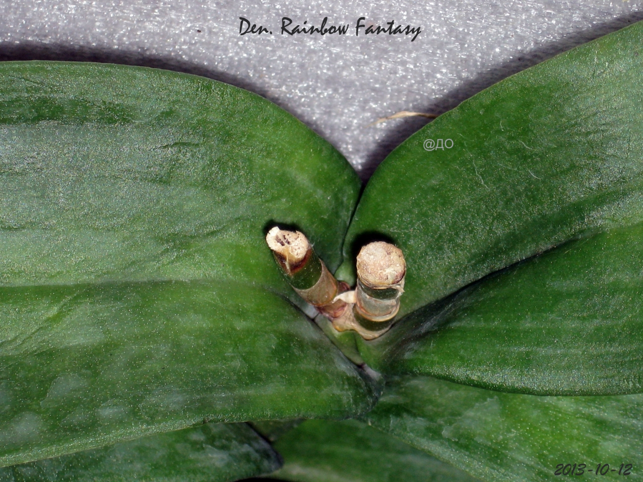 Орхидея цвела ранее