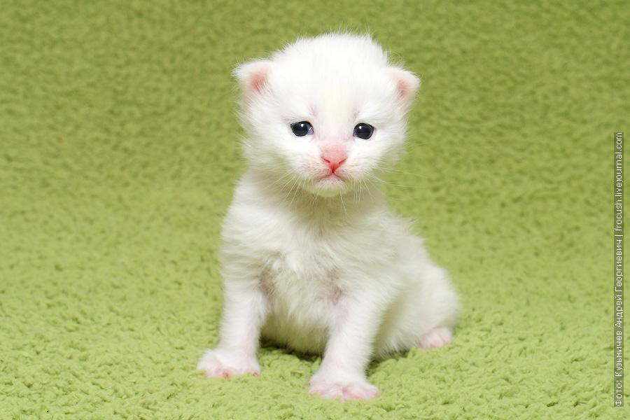 белый котенок Мейн-кун Москва продажа