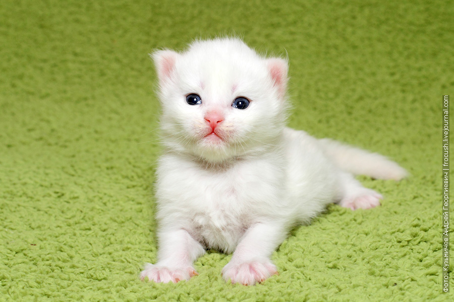 белый котенок Мейн-кун продажа