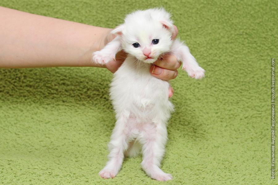 фото белый котенок Мейн-кун
