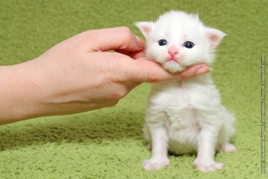 продажа белый котенок Мейн-кун из питомника в Москве