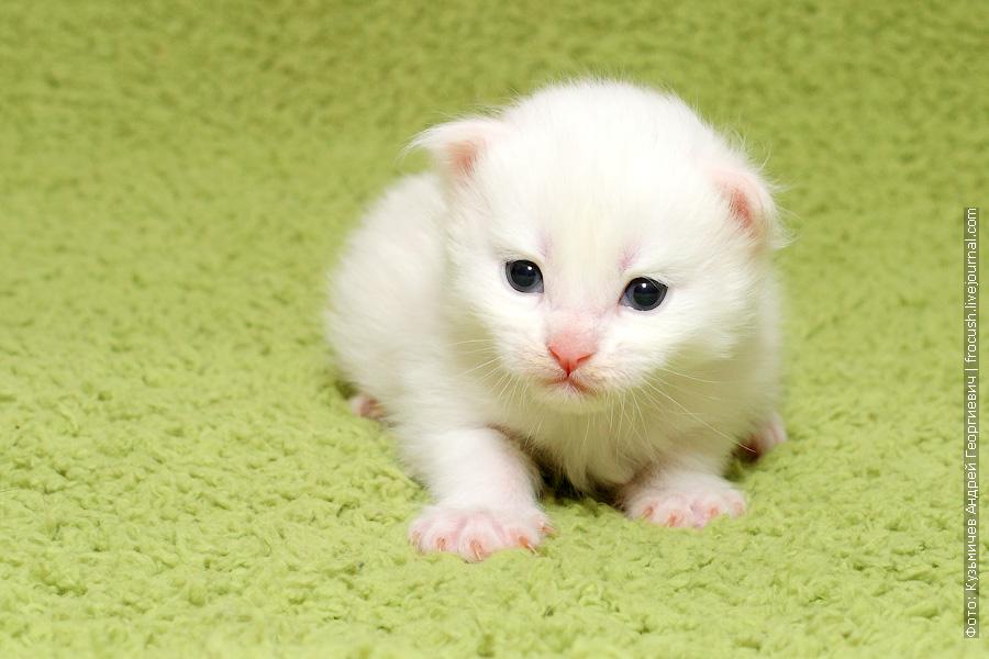 белый котенок Мейн-кун фото