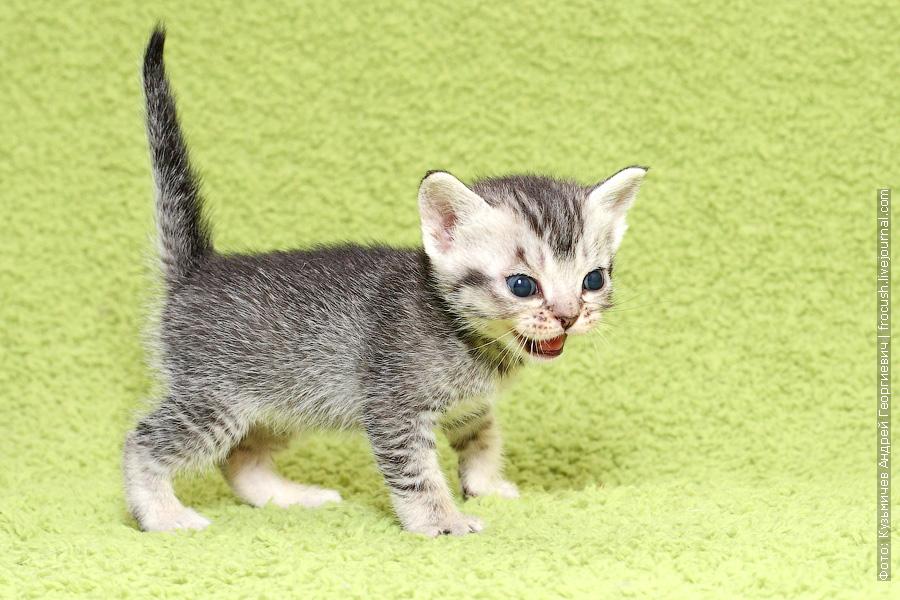 купить в Москве Бомбейские котята из питомника