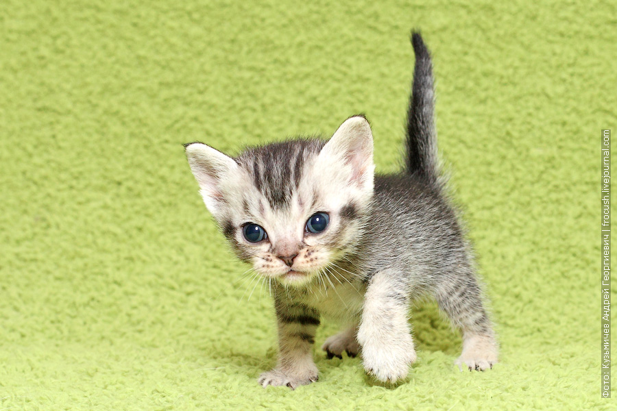 Бомбейские котята купить в Москве из питомника