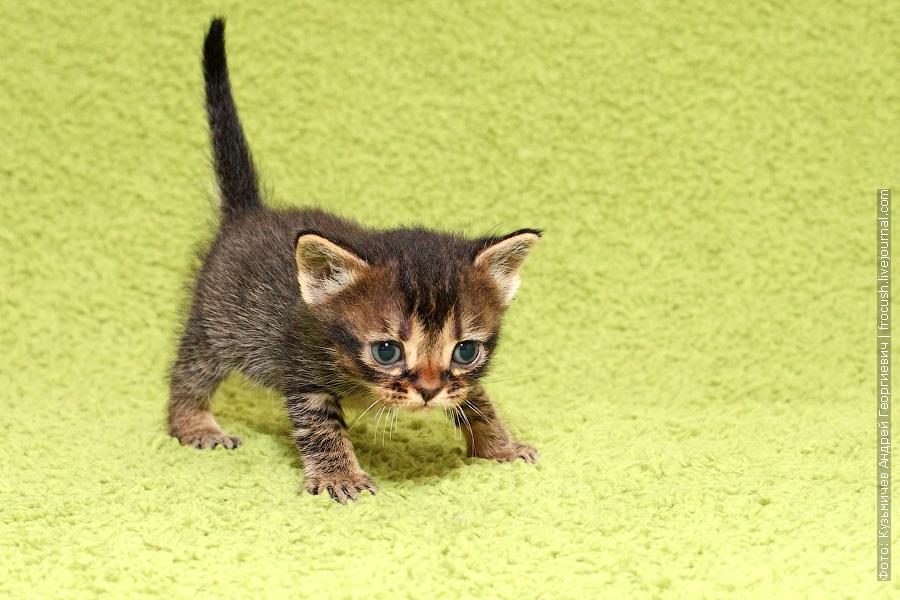 продажа Бомбейские котята цена