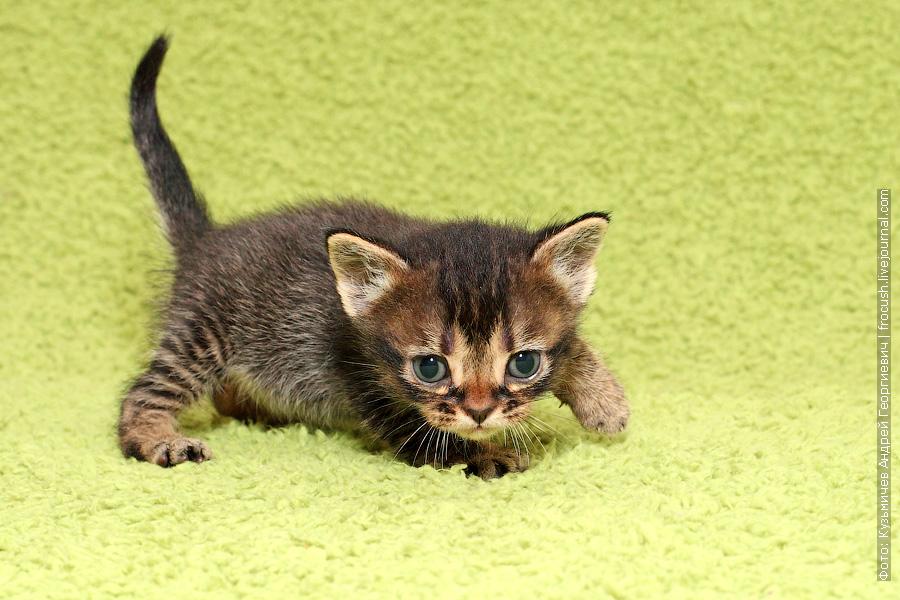 купить Бомбейские котята цена