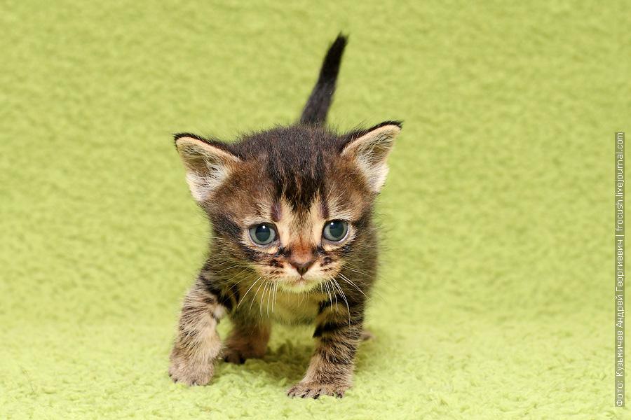 Бомбейские котята цена