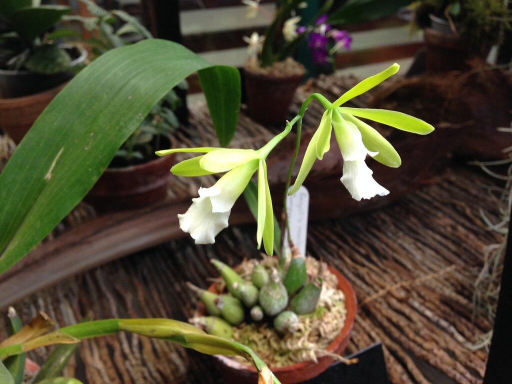 Encyclia mariae x semi-alba
