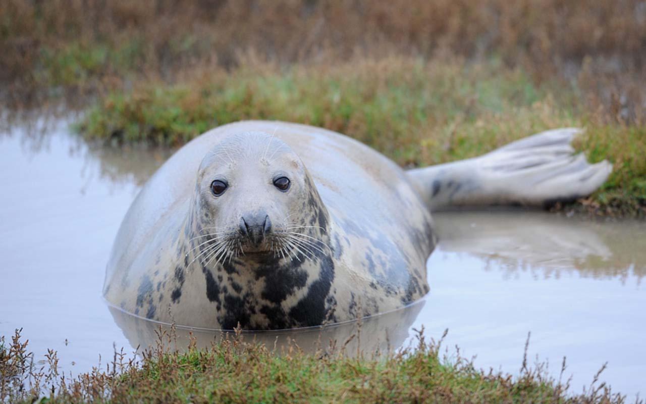 Самка тюленя лежит на мелководье в период спаривания