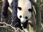 Большая панда в Бельгии