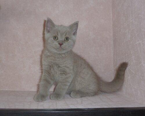 Британские котята из питомника Camelot Castle 0_e63b2_99ce1c58_L
