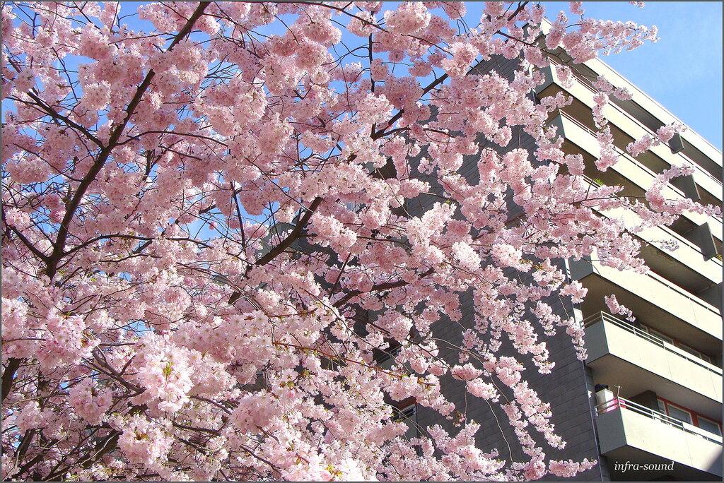 Цветет японская вишня..