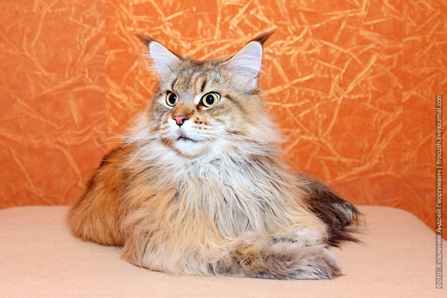 кошка Мейн-кун в Москве