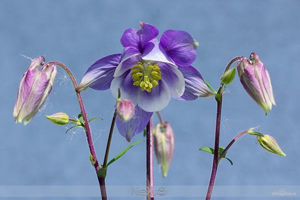 Я люблю все цветы, выпуск # | Аквилегия - «растение мира, олицетворяющее семь добродетелей».