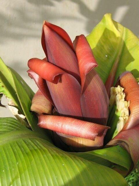 Как цветёт банан? (7 фото)