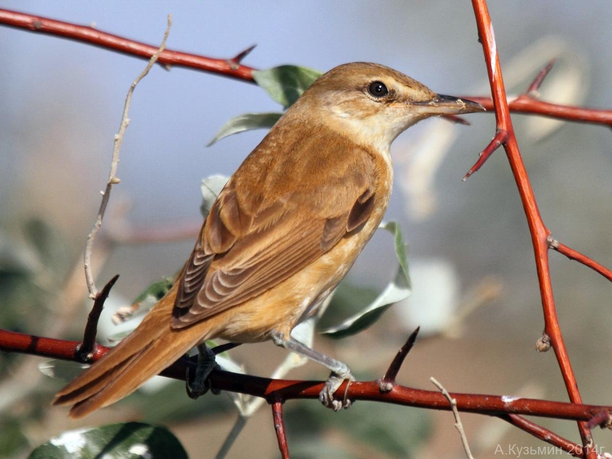Тростниковая камышевка (Acrocephalus scirpaceus)
