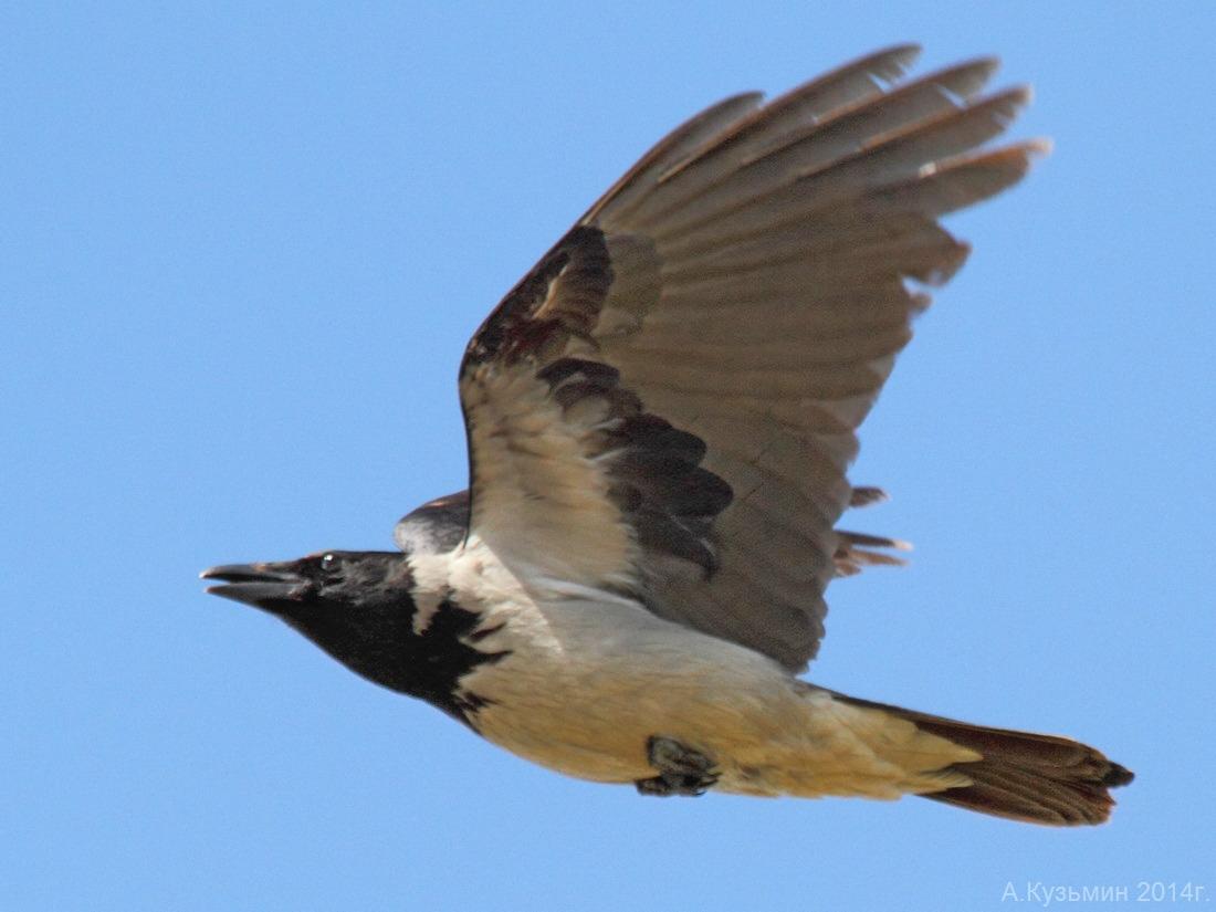 Серая ворона (Corvus cornix)
