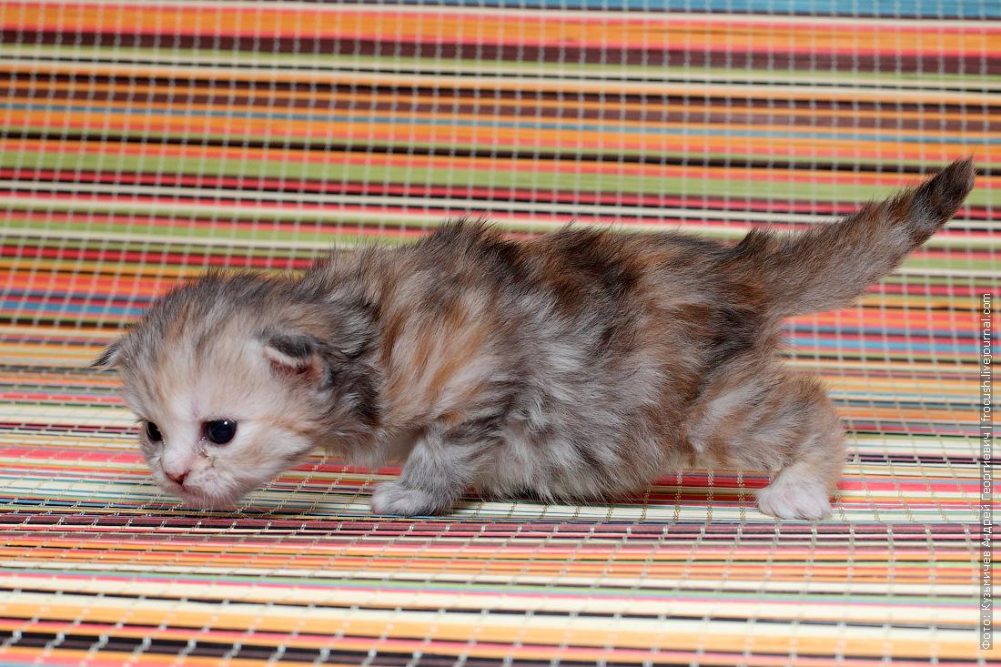 купить в питомнике в Москве котенка Мейн-кун