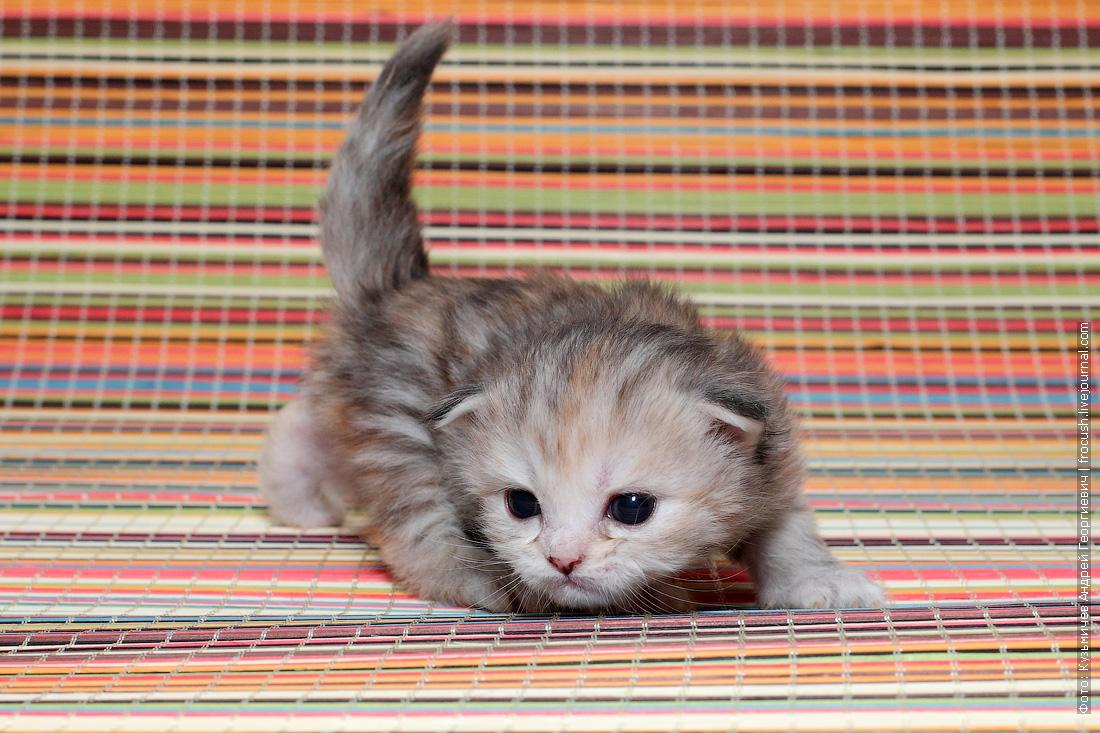 продажа котенка Мейн-кун
