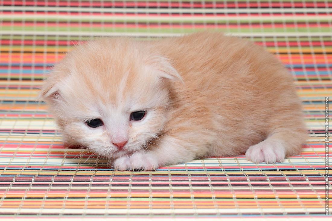 подобрать котенка Мейн-кун
