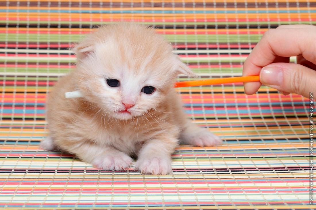 забронировать котенка Мейн-кун