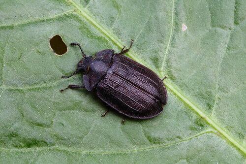 Щитовидка большая (Peltis grossa)