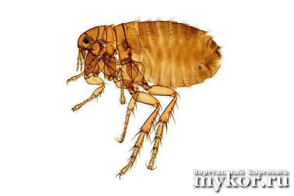 Крысиные блохи Xenopsylla cheopis фото