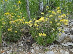 Язвенник обыкновенный (Anthyllis vulneraria)