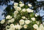Rosa pimpinellifolia 'plena' (Juhannusruusu)