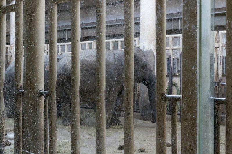 Слоны, Пекинский зоопарк
