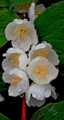 Чубушникк и другие цветы