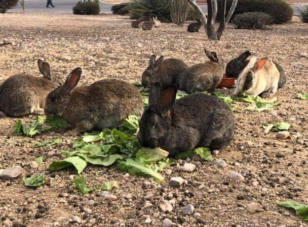 Зачем вЛас-Вегасе отравили десятки кроликов?