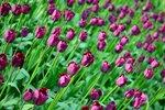 тюльпаны лиловые.jpg