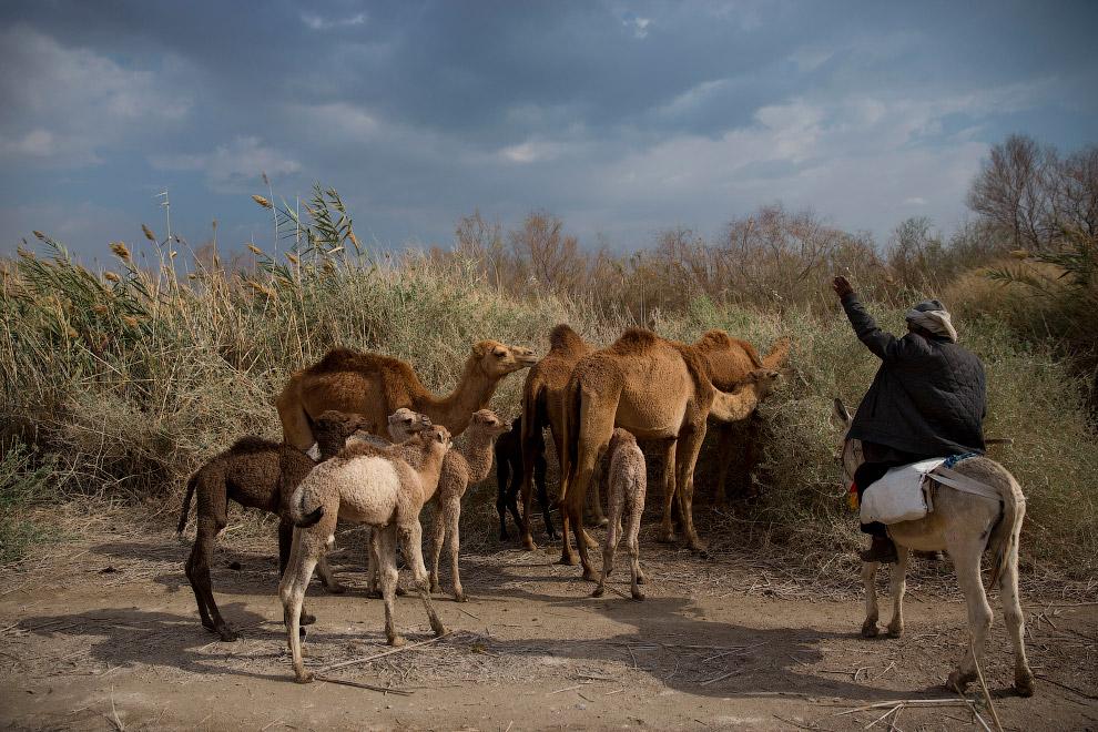 HD верблюды Израиль