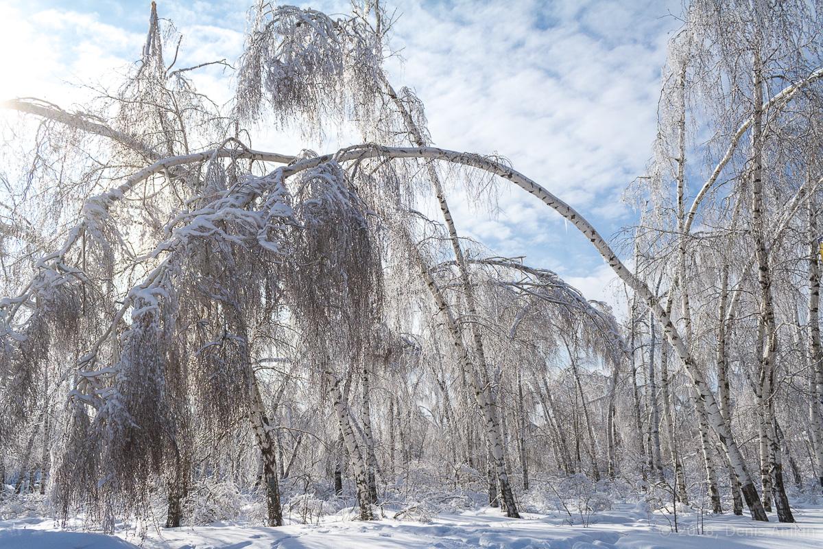 березы в снегу фото 4