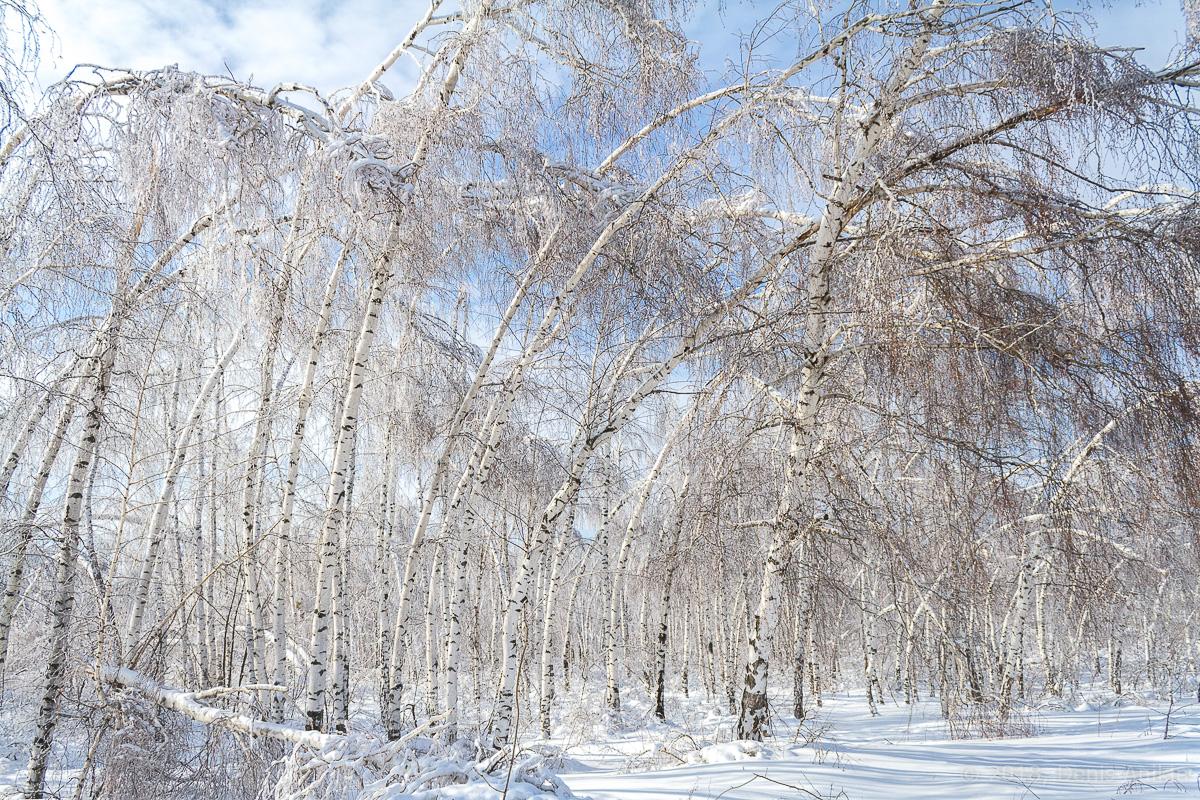 березы в снегу фото 5