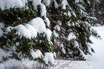 Снег на ветках в пасмурную погоду